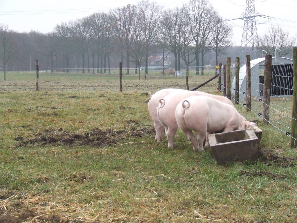 scharrelvarkens vleesveeboerderij