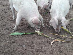 De varkens eten de overgebleven maiskolven